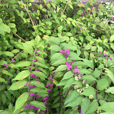 Purple beautyberry can grow up to 4 feet wide.