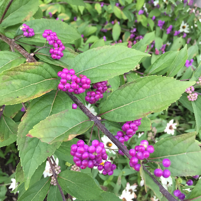 Close-up of the beautiful purple berries that give Callicarpa dichotoma its common name.