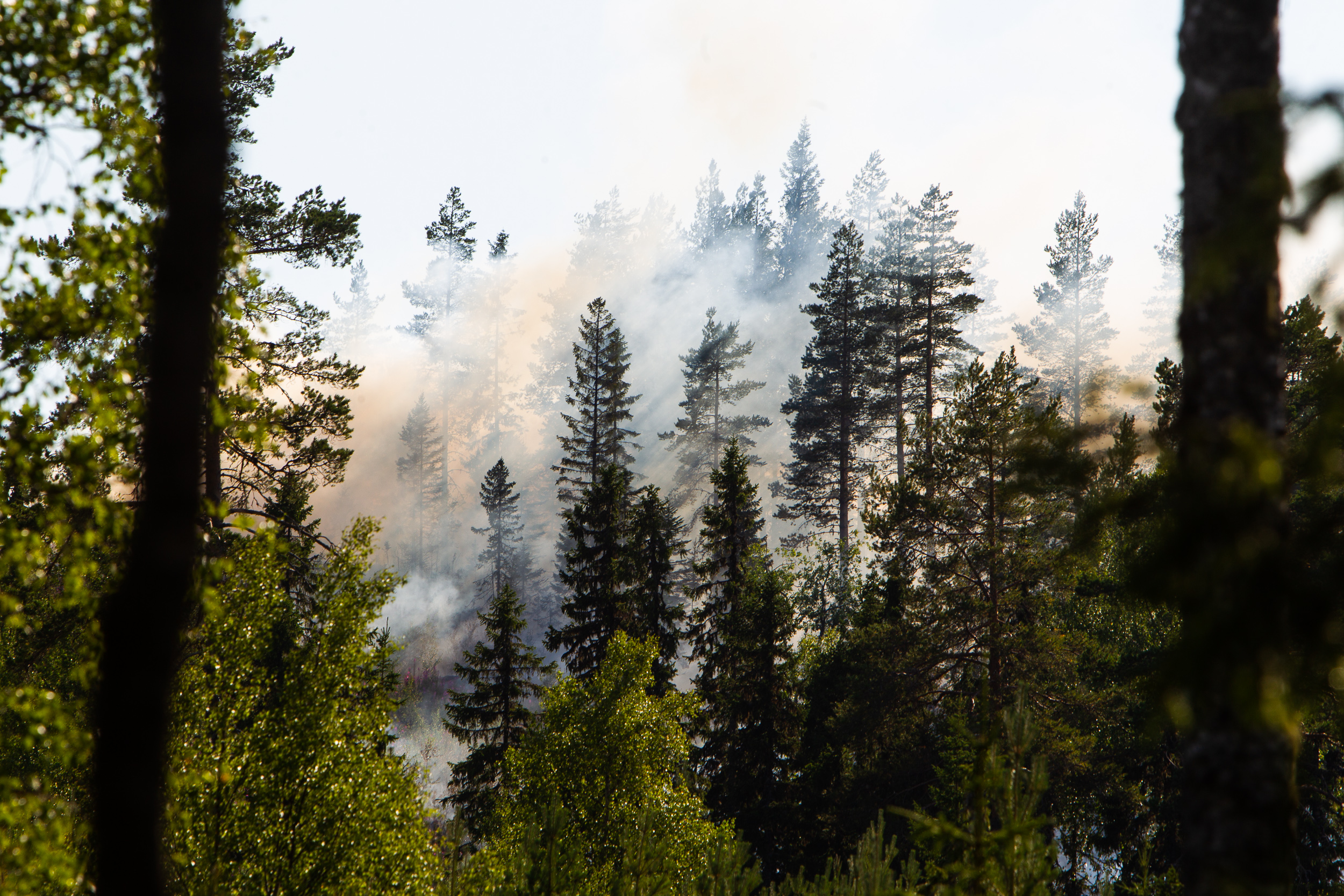 Smoke from a forest fire enveloping pine trees in Hälsingland, Sweden.