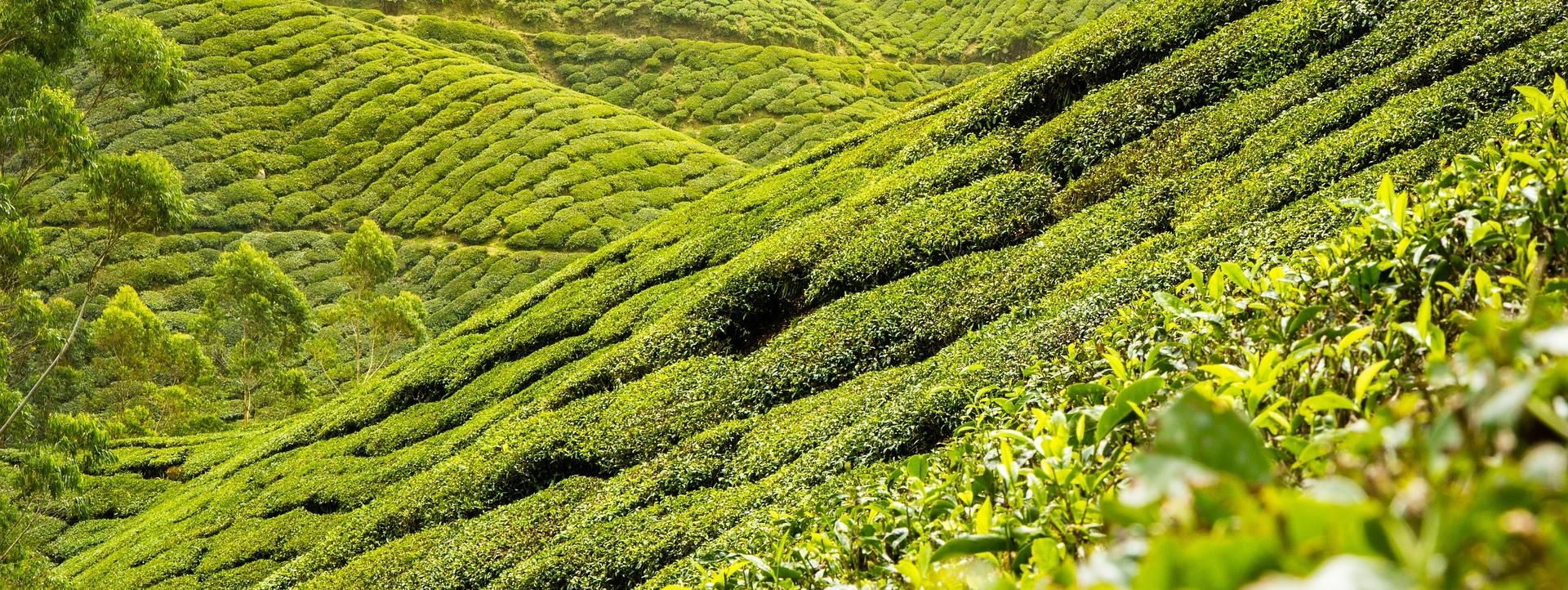 tea-leaves-139617_1920.jpg