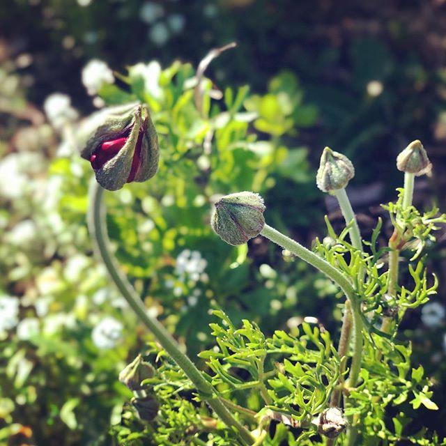 Ranunculus imminent! . . . . #flowers #flowergarden #growprettythings #garden#gardens #gardening #gardeners #gardendesign #gardendesigner #gardenlife #gardenlove  #gardenlovers #gardenlover #flowerlover #flowerpower #slowflowers #flowernerd #flowersofig #cagrown #ranunculus