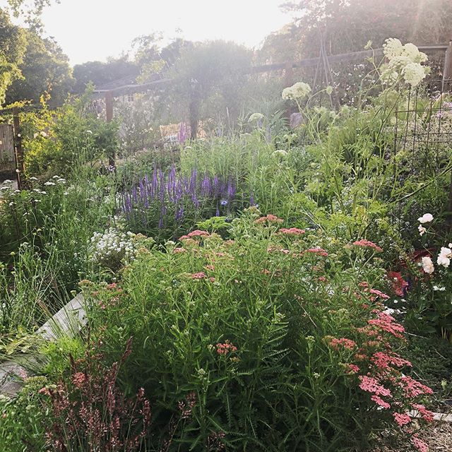 Spring evening in one of our productive meadow gardens (tomatoes  and other edibles tucked between grasses, Salvias, Yarrow and Veronica.) . . . . #growprettythings #garden #gardens #gardening #gardeners #gardendesign #gardendesigner #gardenlife #gardenlove  #gardenlovers #gardenlover #jardin #plantsmakepeoplehappy #growwhatyoueat #eatwhatyougrow #growprettythings #marinstyle #marinlife #marindesign #marindesigner #gardensofmarin #maringardendesign #plantlove #plantnerd #outdoorliving #edible landscaping #sosunset #meadowgarden #naturalisticplanting