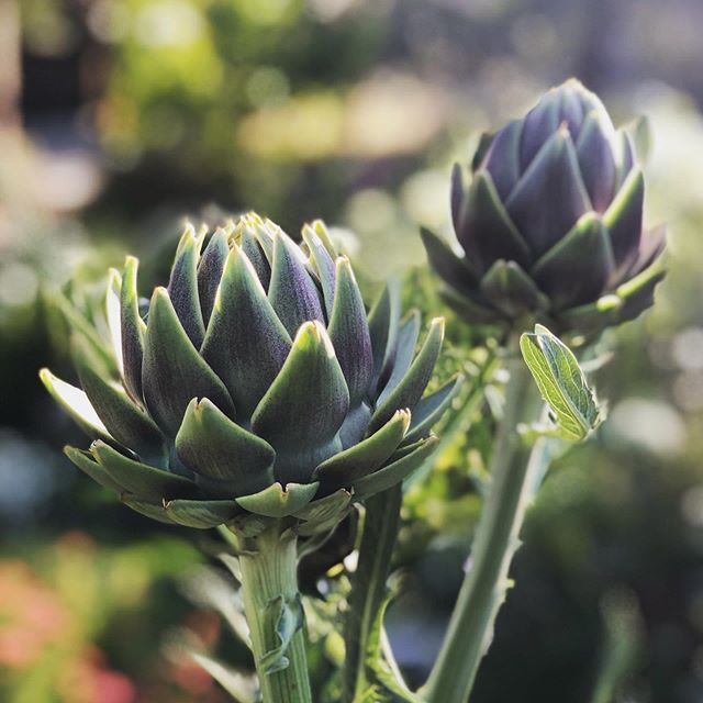 "Artichokes aren't just for dinner—they're another one of our garden ""triple threats""—edible, medicinal and ornamental! . . . . #ediblegarden #ediblelandscape #ediblelandscaping #kitchengarden #growwhatyoueat #eatwhatyougrow #foodgarden #eatprettythings #garden #gardens #gardening #gardendesign #gardendesigner #gardenlife #gardenlove  #gardenlovers #gardenlover  #plantsmakepeoplehappy #eathealthy #cagrown #growprettythings #marinstyle #marindesign #marindesigner #maringardendesign #cagrown #artichoke #carciofi"