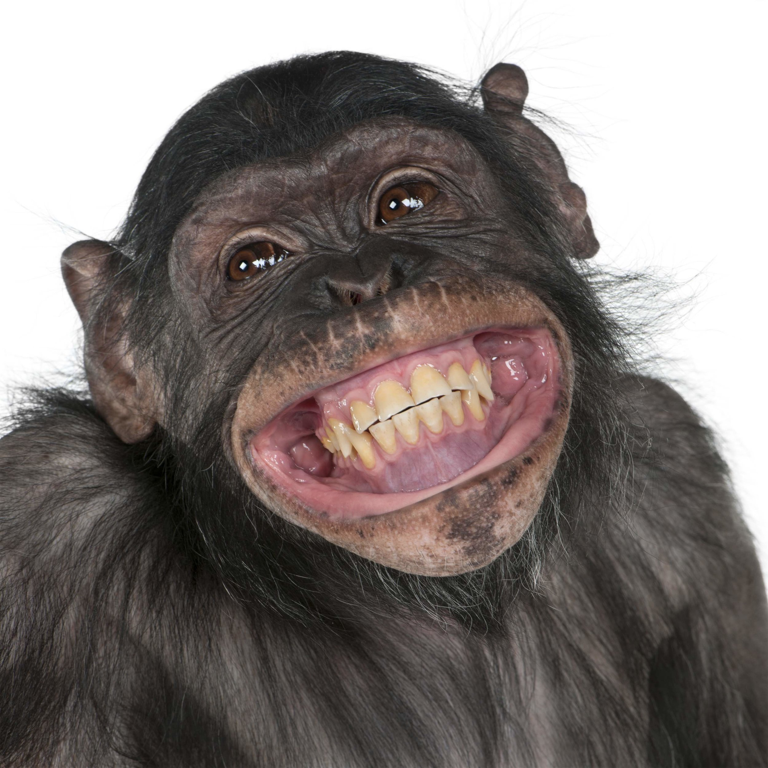 Chimp Smile 1.jpg