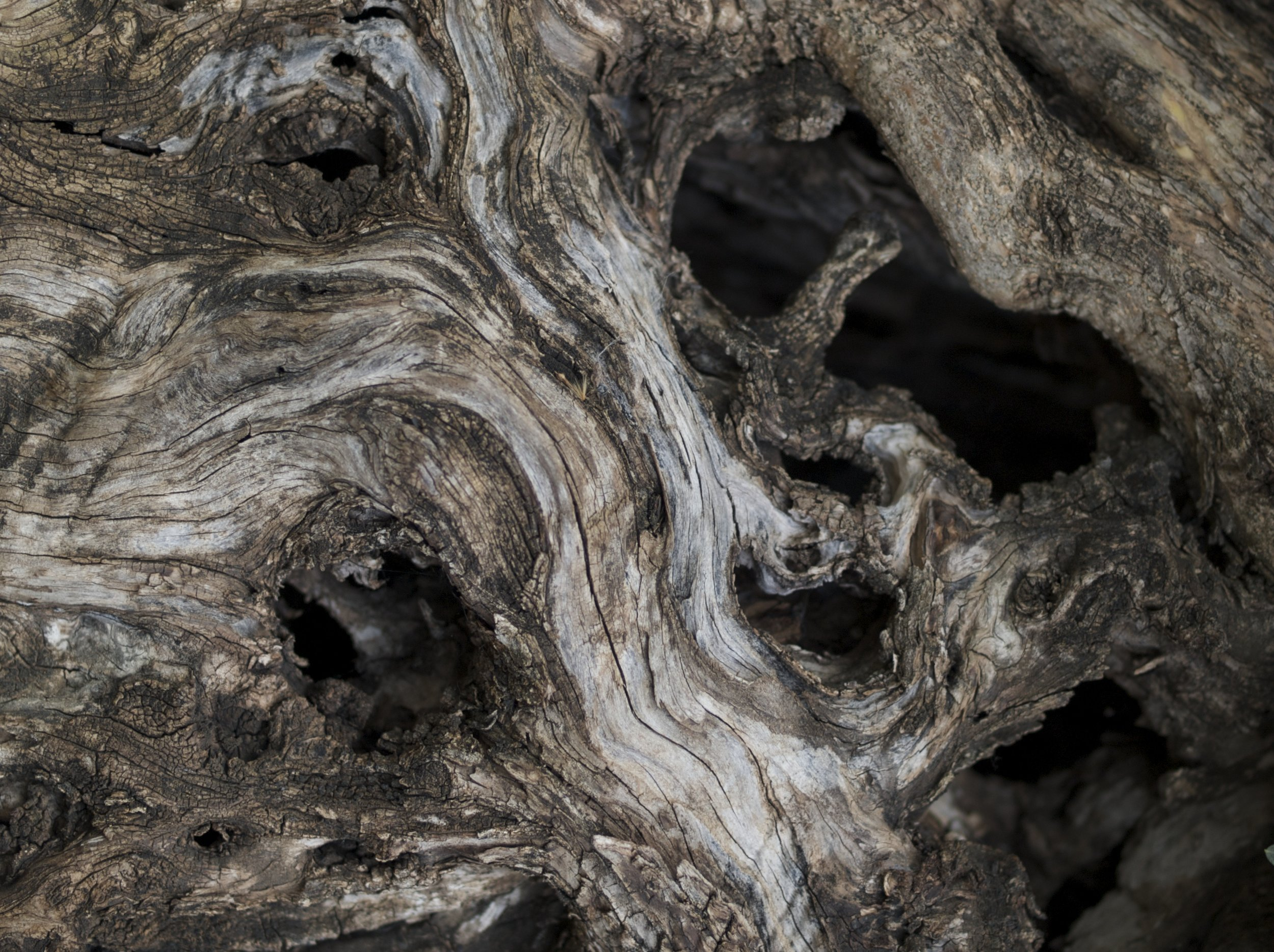 Closeup of the bark of an ancient olive tree, which we transplanted into a client's new walled garden with a crane some years ago.