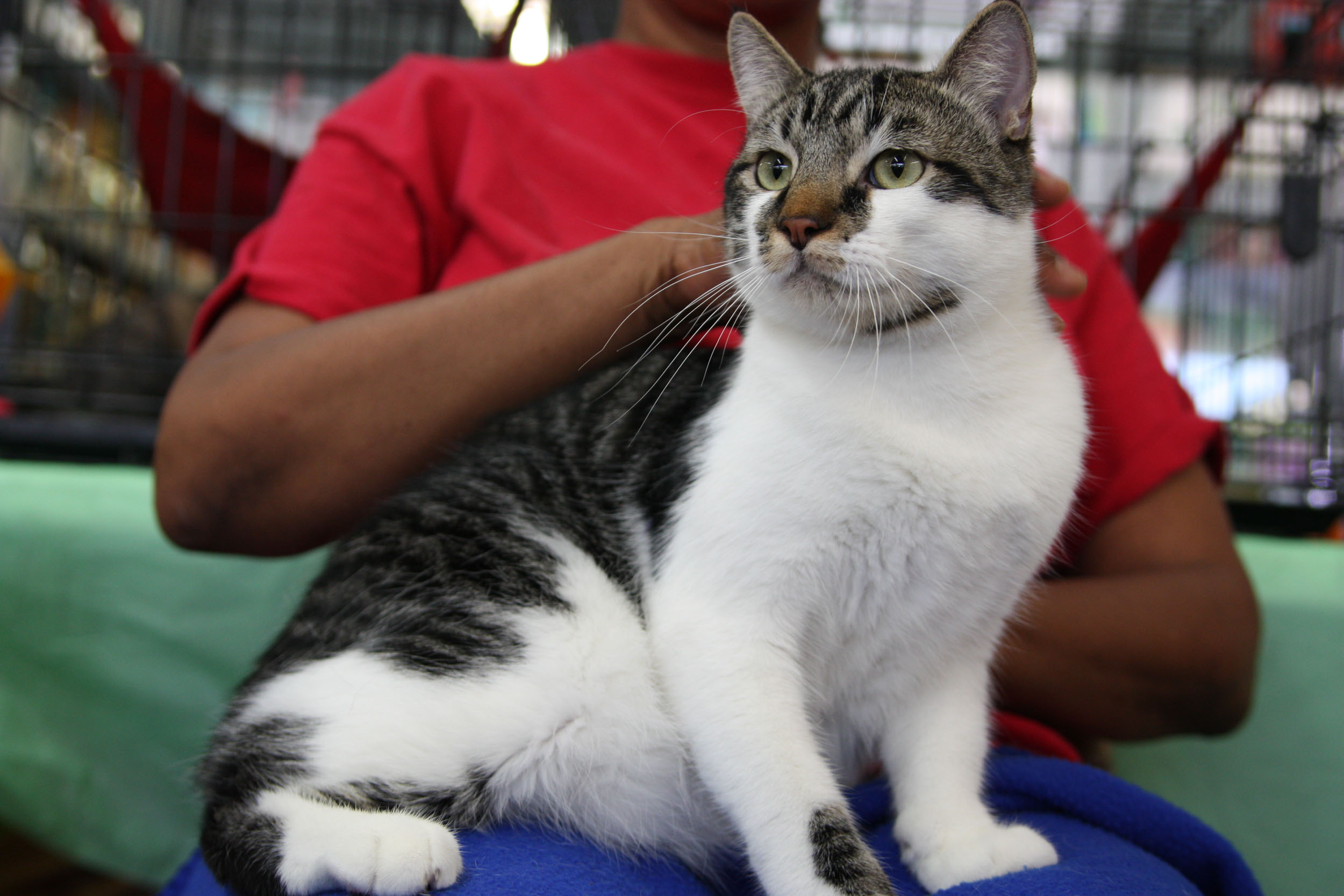 Roger-tabby-mix-CatPosse-adopt