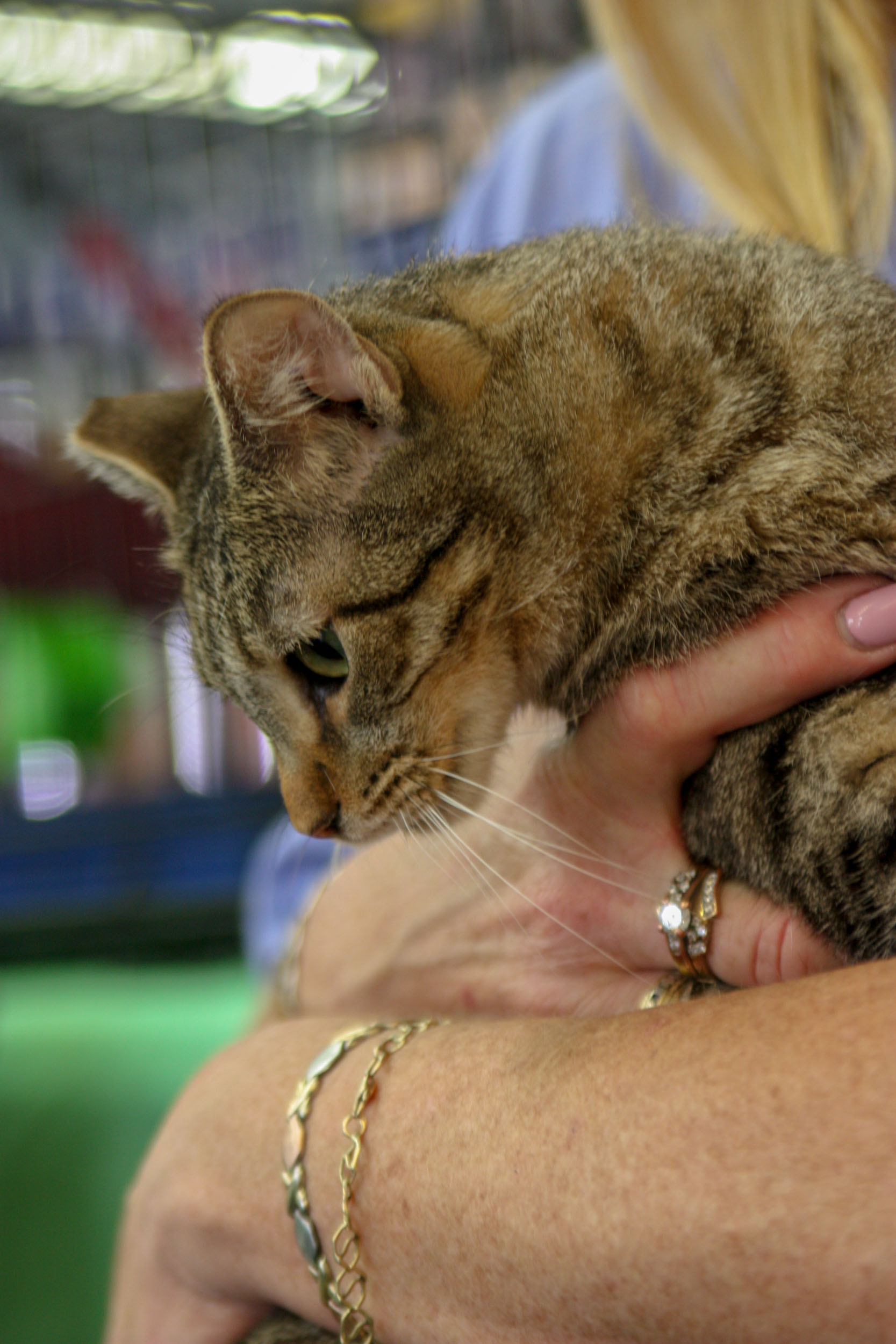 Louise-tabby-CatPosse-adopt