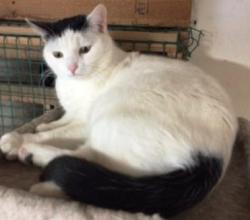 Bailey-bw-dsh-CatPosse-adopt