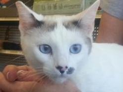Malai-SiameseCalicoMix-CatPosse-adopt