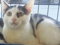 Hank-bw-DSH-brother-CatPosse-adopt