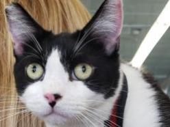 Frank-bw-DSH-brother-CatPosse-adopt