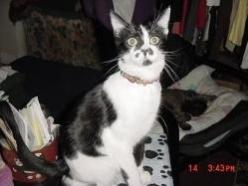 LaRue-B&W-dsh-senior-CatPosse-adopt