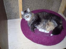 SweetPea-MainCoone-senior-CatPosse-adopt