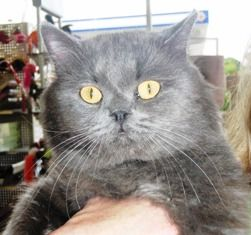 Percy-persian-mix-grey-senior-CatPose-adopt