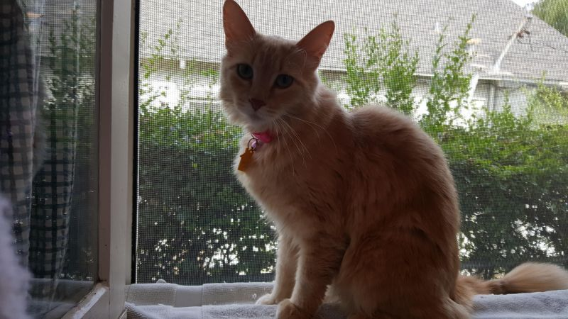 Ginger-Orange-Tabby-CatPosse-detail1