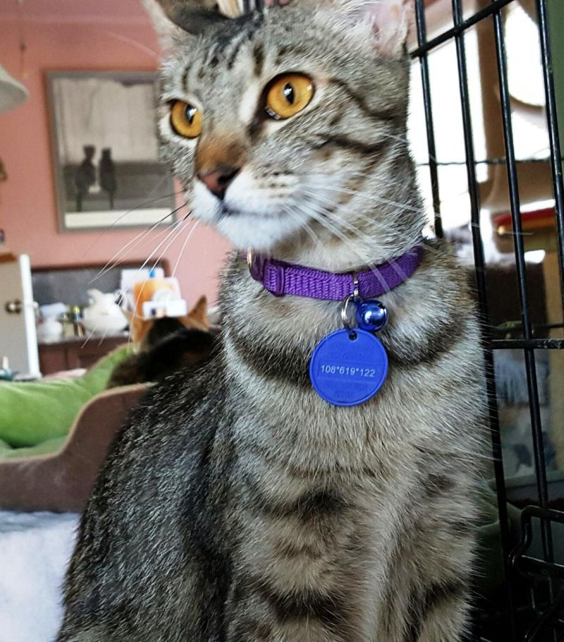 Penelope-tabby-mom-CatPosse-adopt