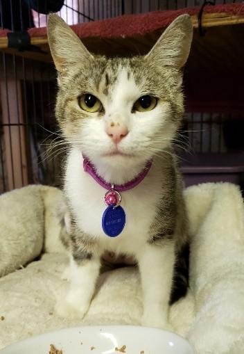 Marmee-Gray&White-dsh-senior-CatPosse-adopt
