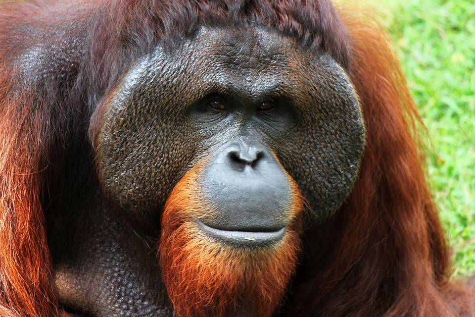 orangutan-250664_960_720.jpg
