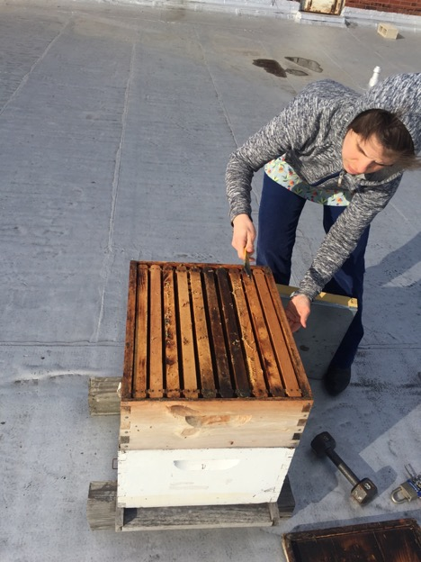 "Gambill opening the hive with a metal ""hive tool""."