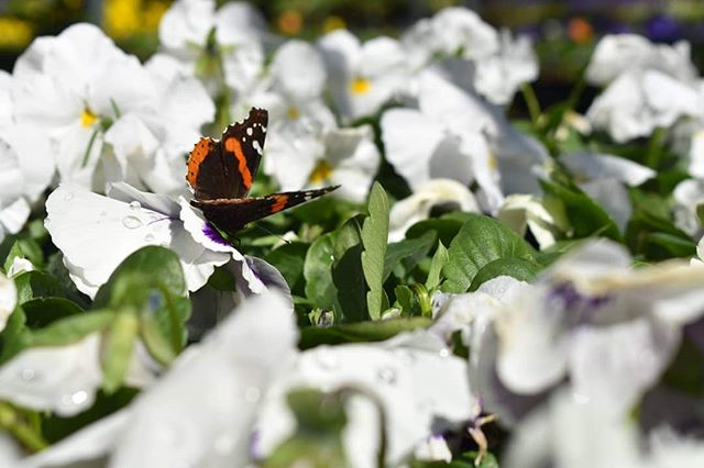 "Photo of the week! Chicago, IL by Carlyn Kranking @cnk.photo ""I love when you can find wildlife or any small bit of nature, even in a big city like Chicago. Here, a butterfly visits the flowers at a plant sale in Old Town, reminding me that beautiful animals can still be seen downtown. Happy Earth Day!"" #photography #photo #photooftheweek #chicago #illinois #butterfly #flowers #earthday"