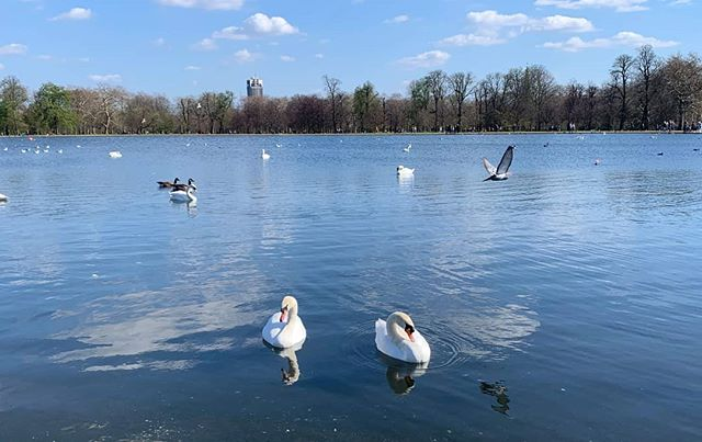 "Photo of the Week! London, England by Ginny Ip @theteflonslacker ""While strolling through the enchanting Kensington Gardens on a perfect Sunday afternoon, I came across this pair of swans who looked very much in love. Stopping to observe, I found that swan courtship is both beautiful and noisy."" #swans #london #england #uk #photooftheweek #photography #photo"