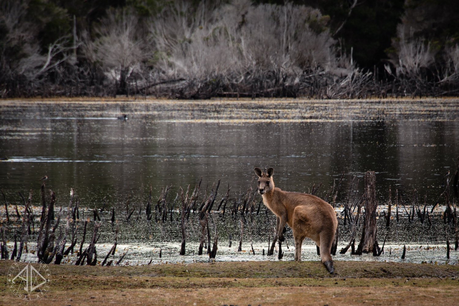 Kangaroo at Narawntapu National Park.  Click to view the rest of the gallery.