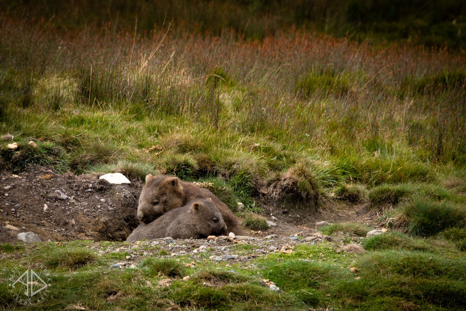 Wombat mother and child at Cradle Mountain.  Click to view the rest of the gallery.