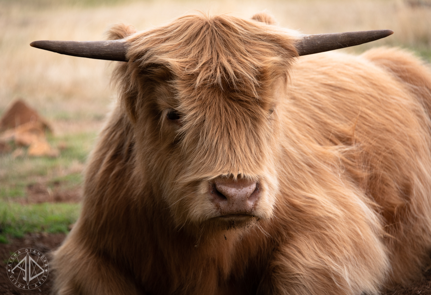 Highland cow living at one of the places we spent the night at.  Click to see more of the beautiful animals from this accommodation in the Animals gallery.