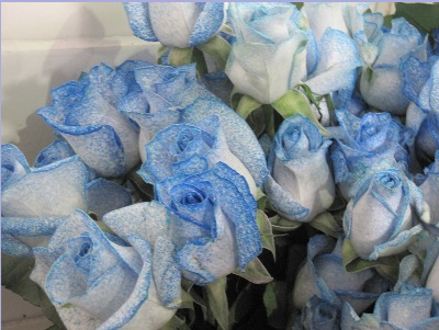 Roses picked for export