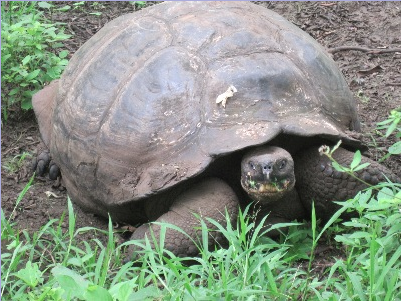 Giant turtle in the Galapagos Islands