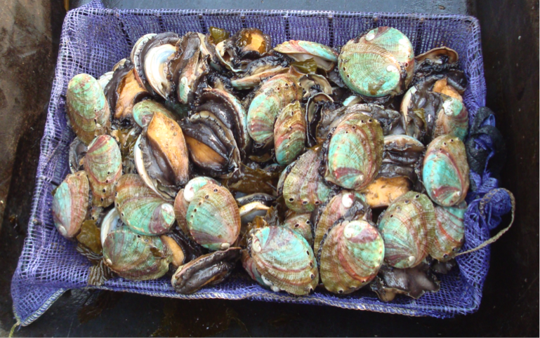 Farmed abalone, the shell color bands reflect the seaweed varieties eaten during various life stages.