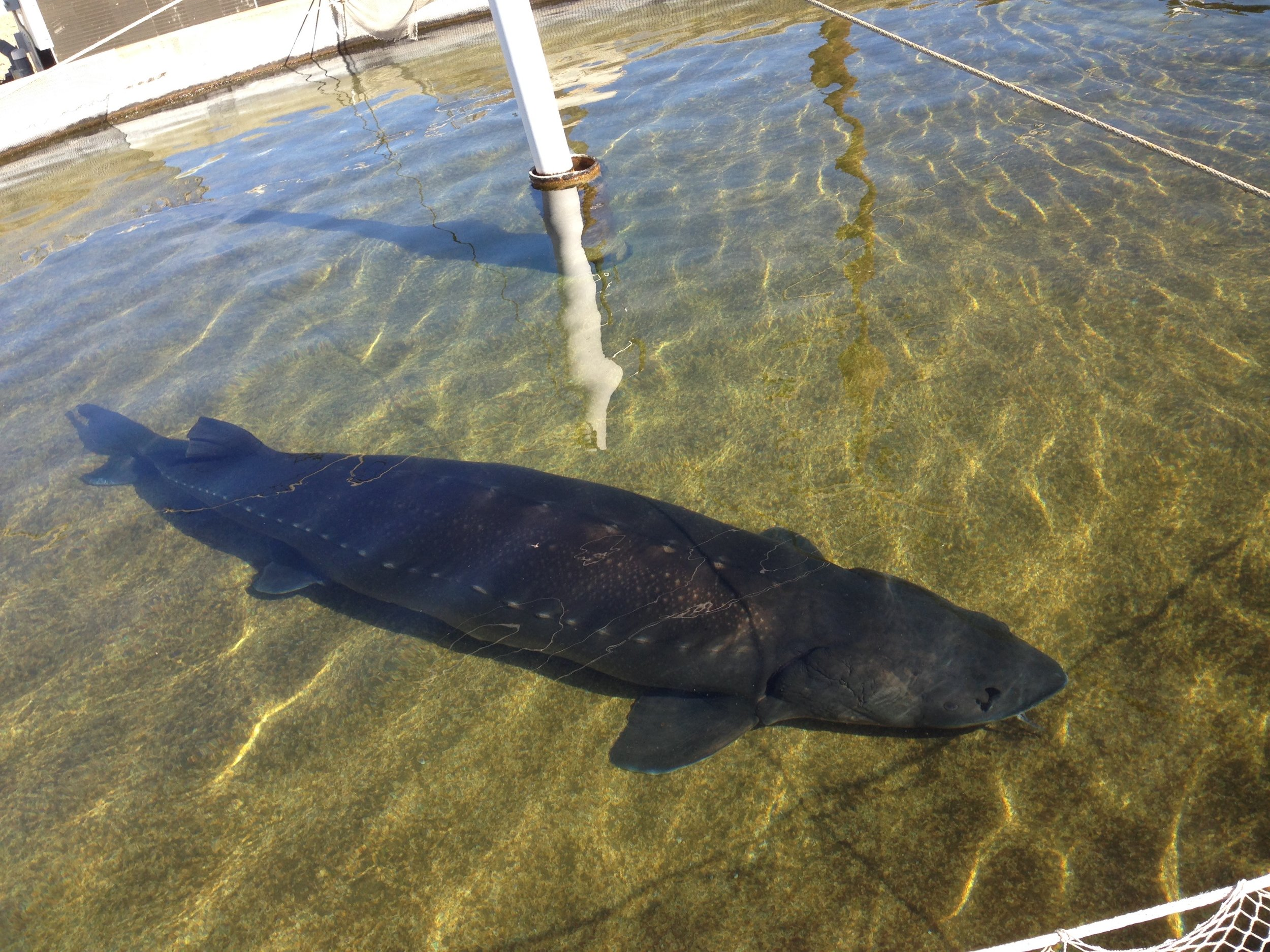 Large sturgeon grown for caviar production in tank-based systems.