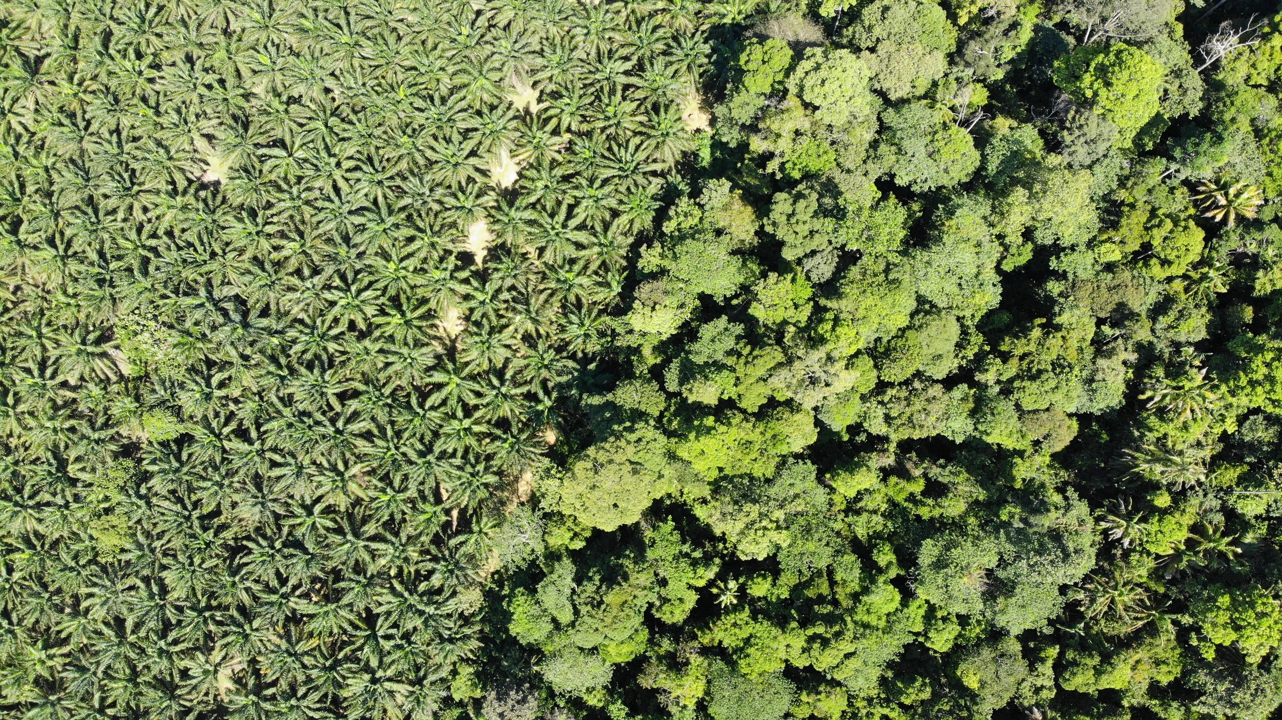 Oil palm — forest boundary (source: Satelligence drone footage)