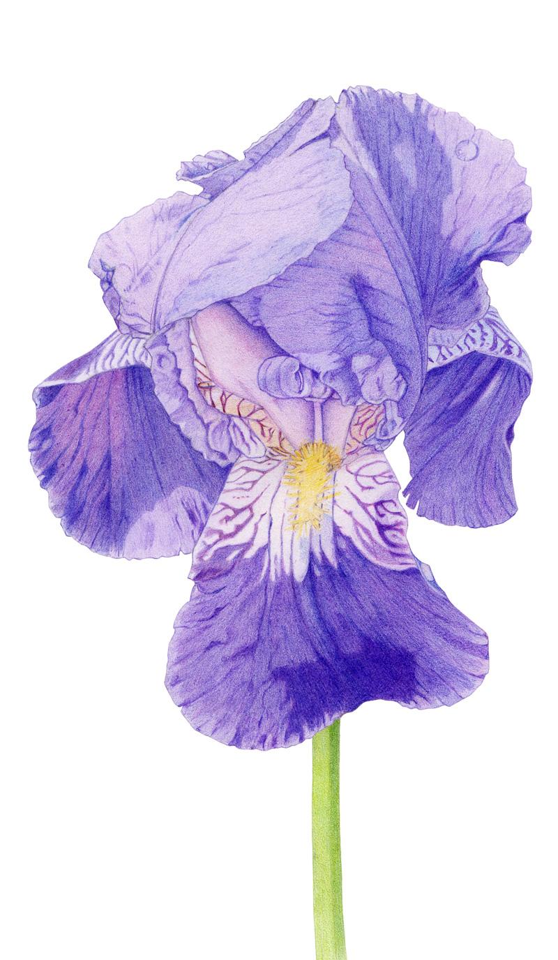 Purple Iris by Mariana:  Floating Lemons Art
