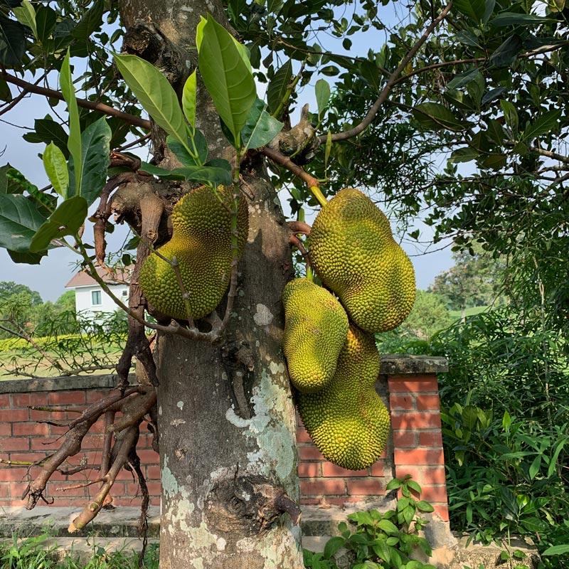 Tropical Garden - Jackfruit Tree : FloatingLemonsArt
