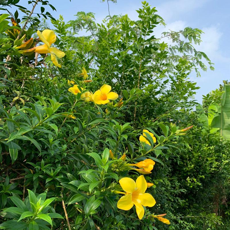 Tropical Garden - Yellow Jasmine (I think!) : FloatingLemonsArt