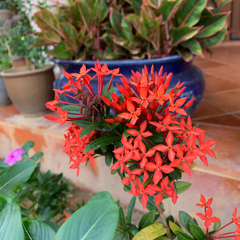 Tropical Garden - Ixora coccinea 'Dwarf Red' : FloatingLemonsArt