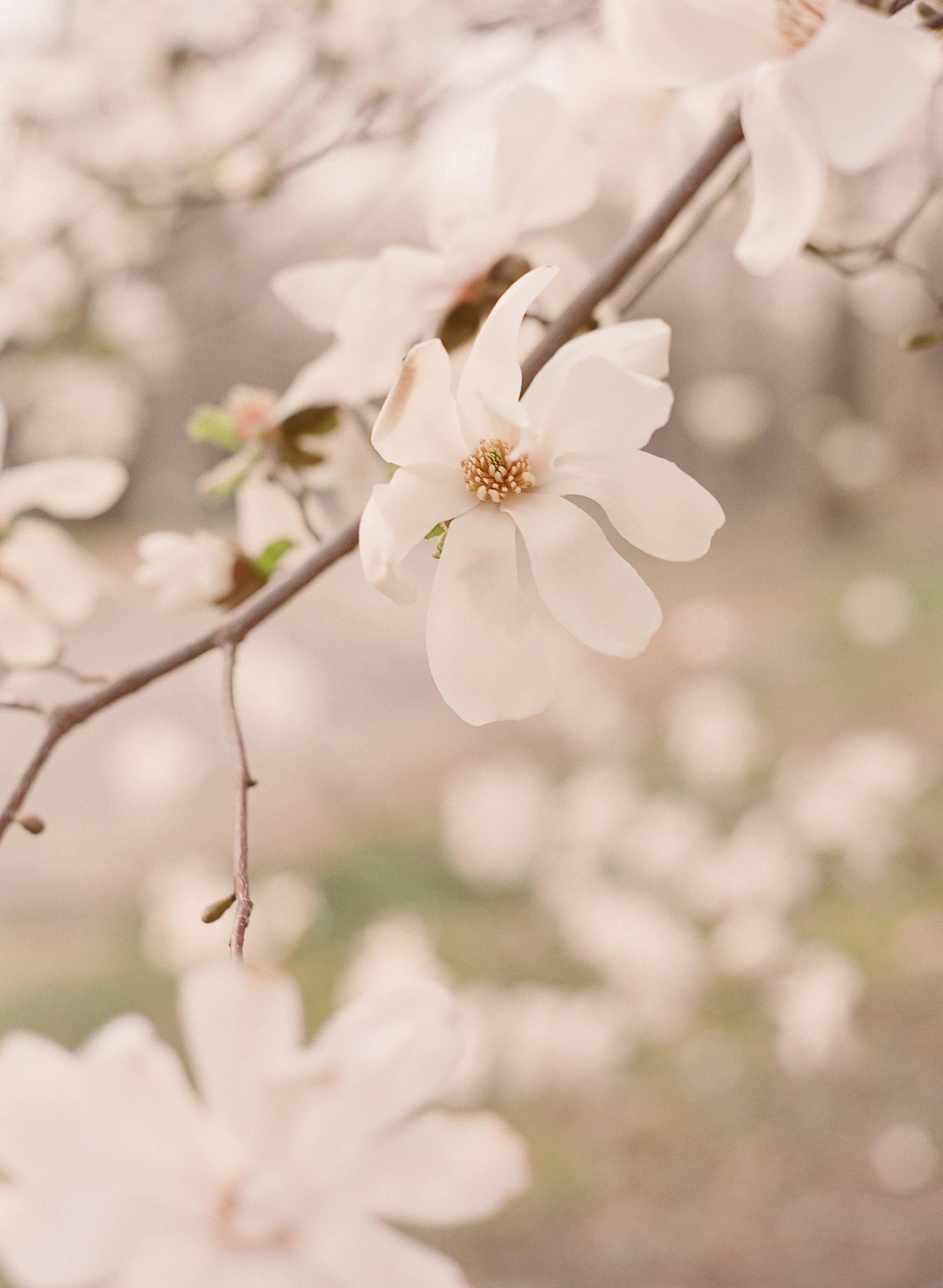 lauramurray-travel-destinationphotography-creativetravel-artists-filmphotography-unearthingtc-magnoliabloom-tree-bloomingtree-spring.jpg