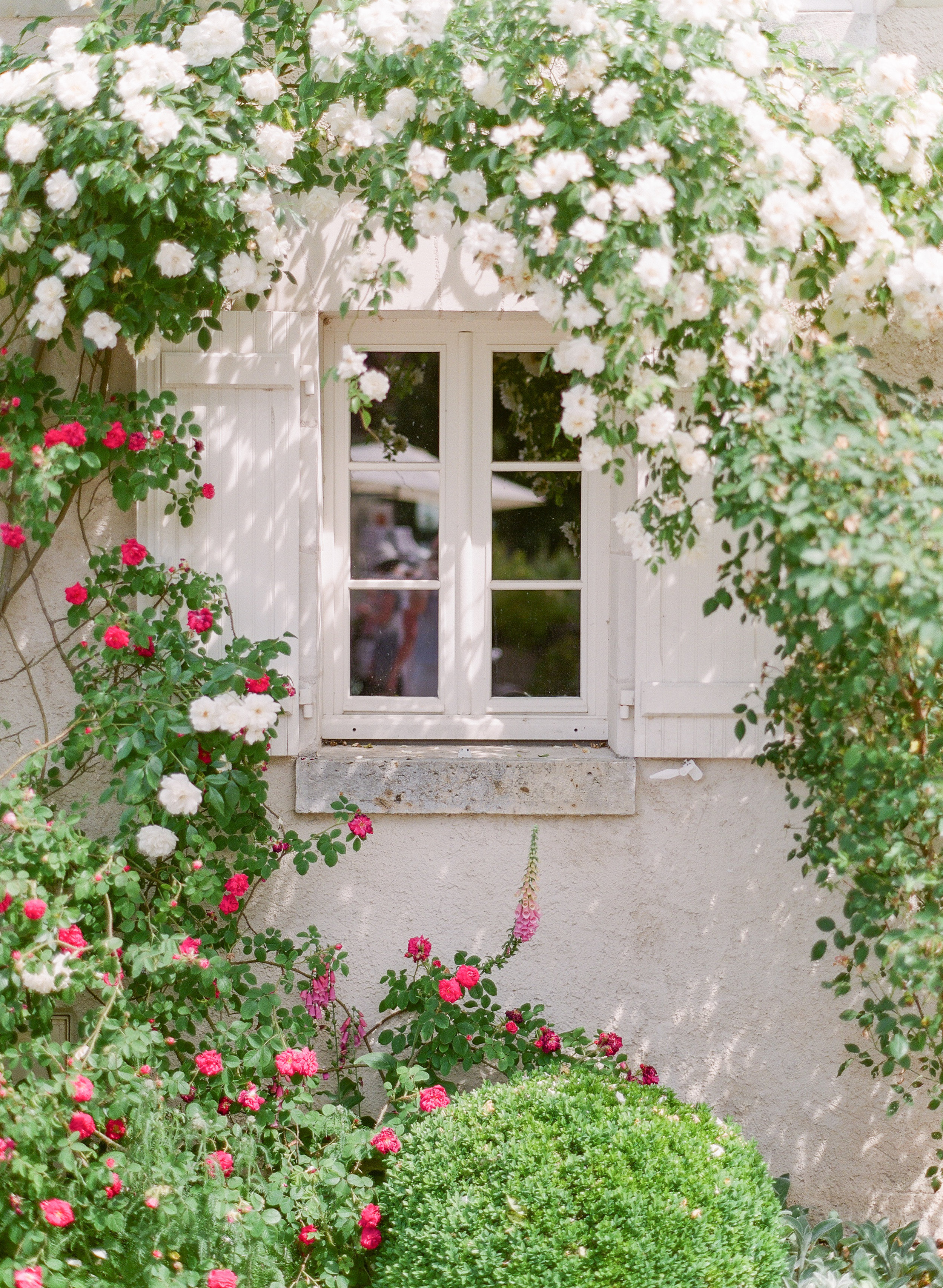 mollycarr-travel-destinationphotography-creativetravel-artists-filmphotography-unearthingtc-gardenroses-climbingroses-whiteroses-redroses-homeinspiration.jpg
