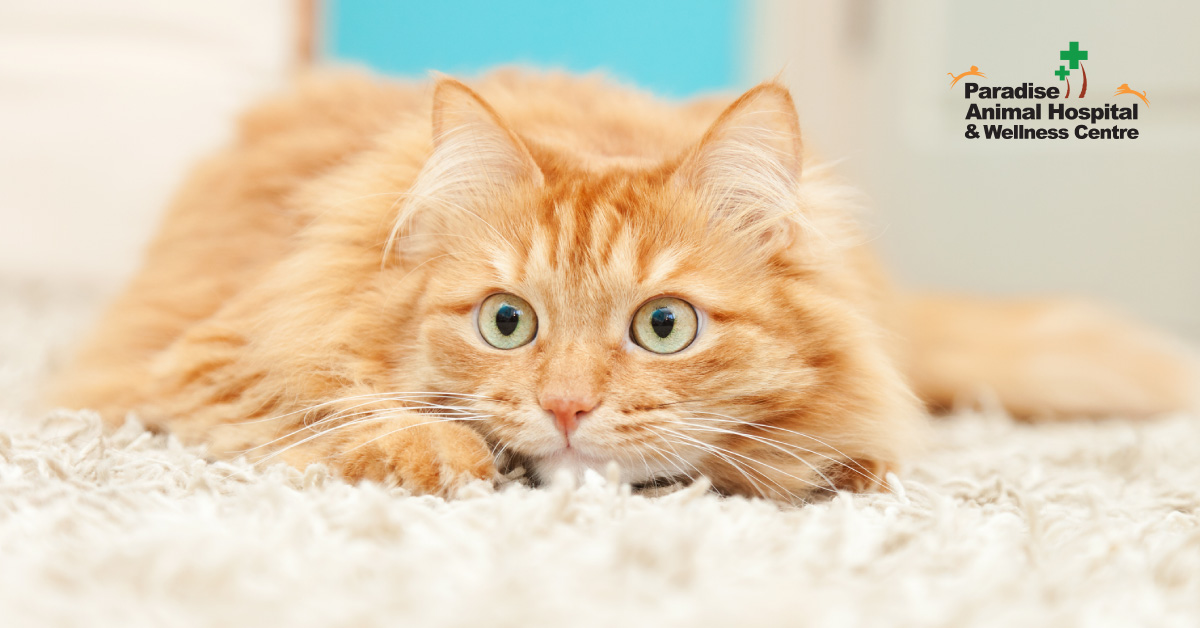 436506_paradise animal hospital - fat cats for blog_anxious cat2_082919.jpg
