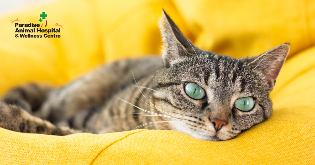 436506_paradise animal hospital - fat cats for blog_bored cats2_082919.jpg