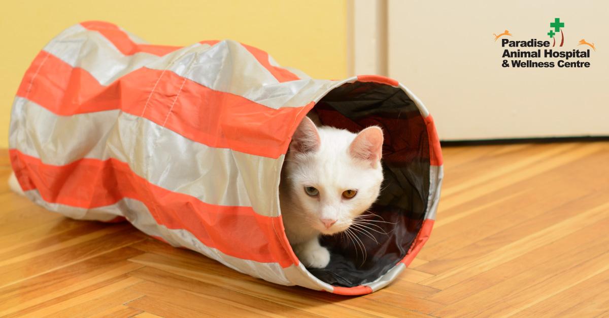 436506_paradise animal hospital - fat cats for blog_Cat Tunnels_082919.jpg