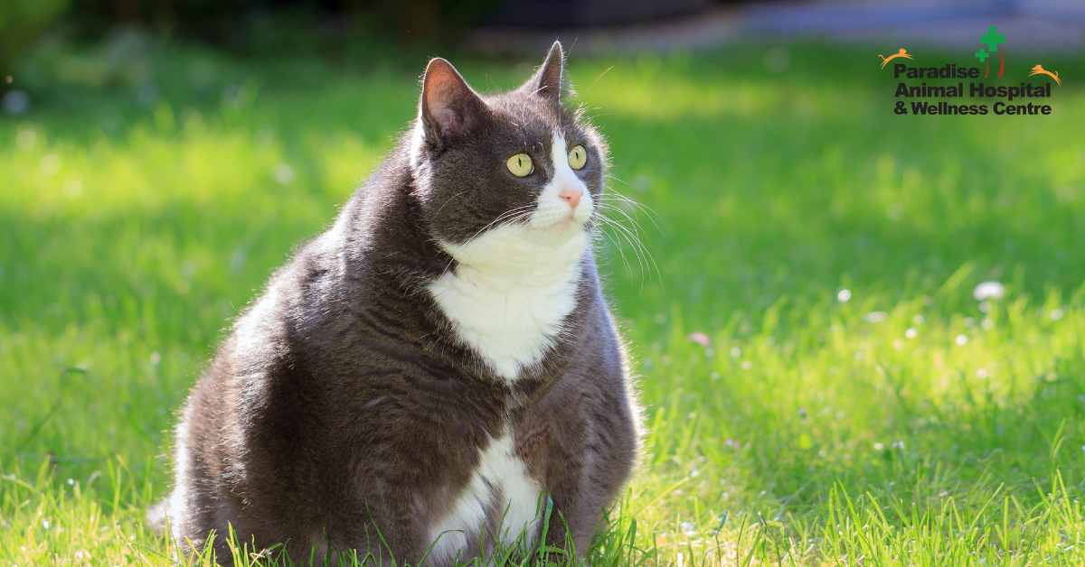 436506_paradise animal hospital - fat cats for blog_lazy or fat cats2_082919.jpg