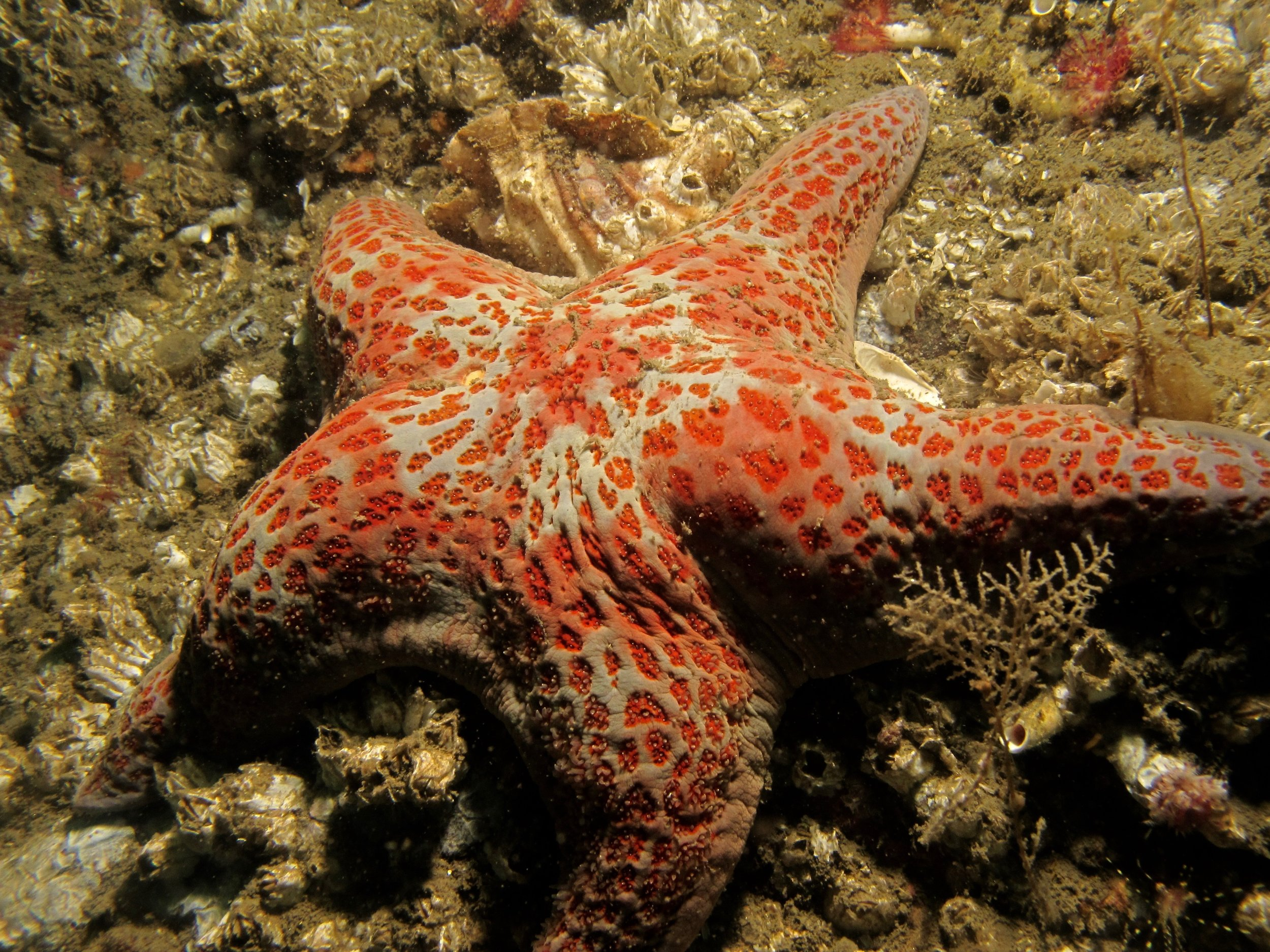 Leather sea stars we less affected as well, and may even be increasing in number