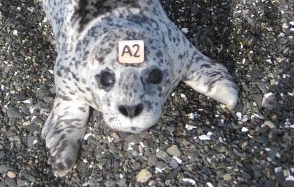 Hat tag on harbor seal pup. Photo by L. Zatorski Clarke