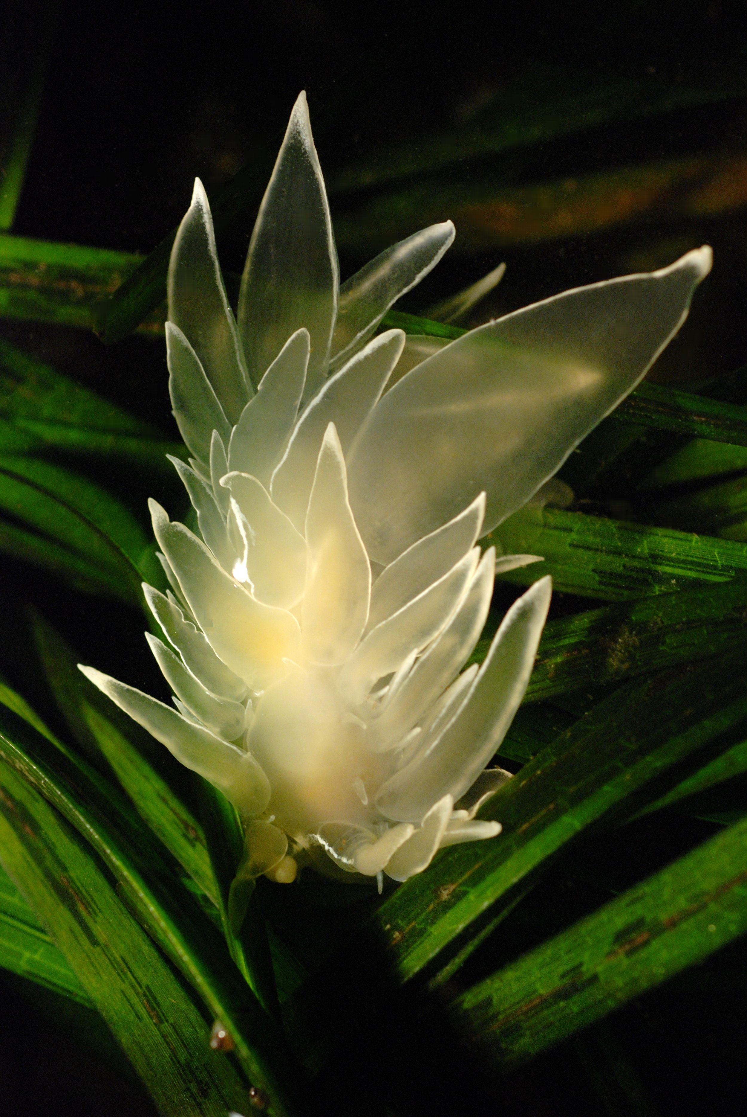 White-line eelgrass photo by Minette Layne
