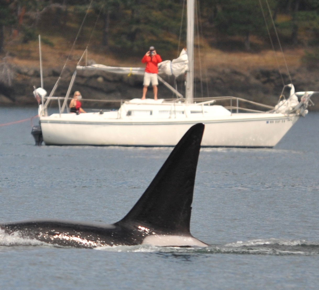 Transient killer whale surfaces in front of a sailboat.