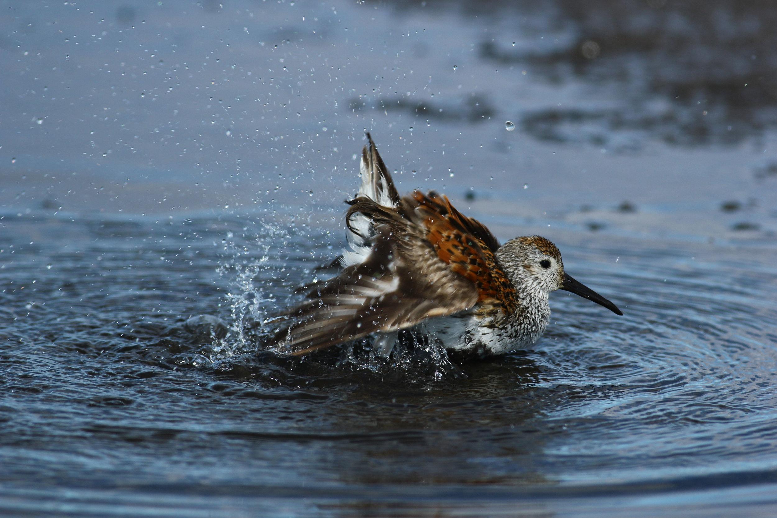 Splashing dunlin