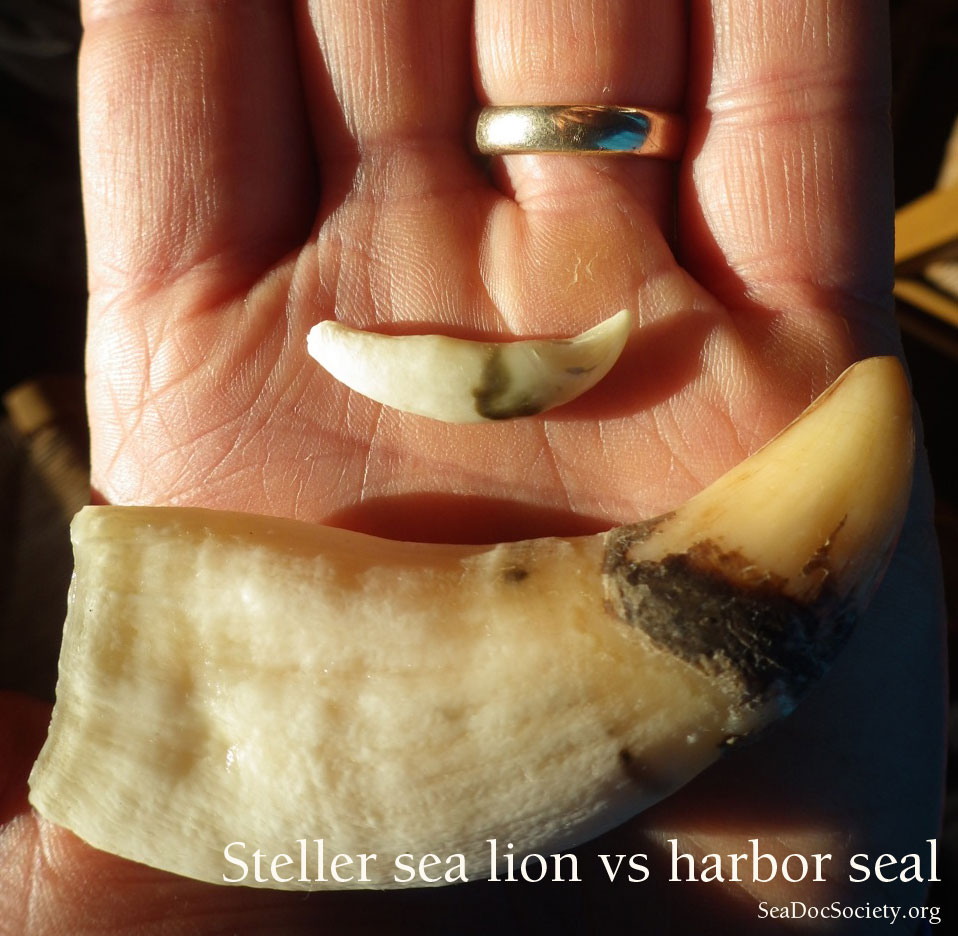 Adult harbor seal canine tooth vs Steller sea lion canine tooth. Photo: J. Gaydos