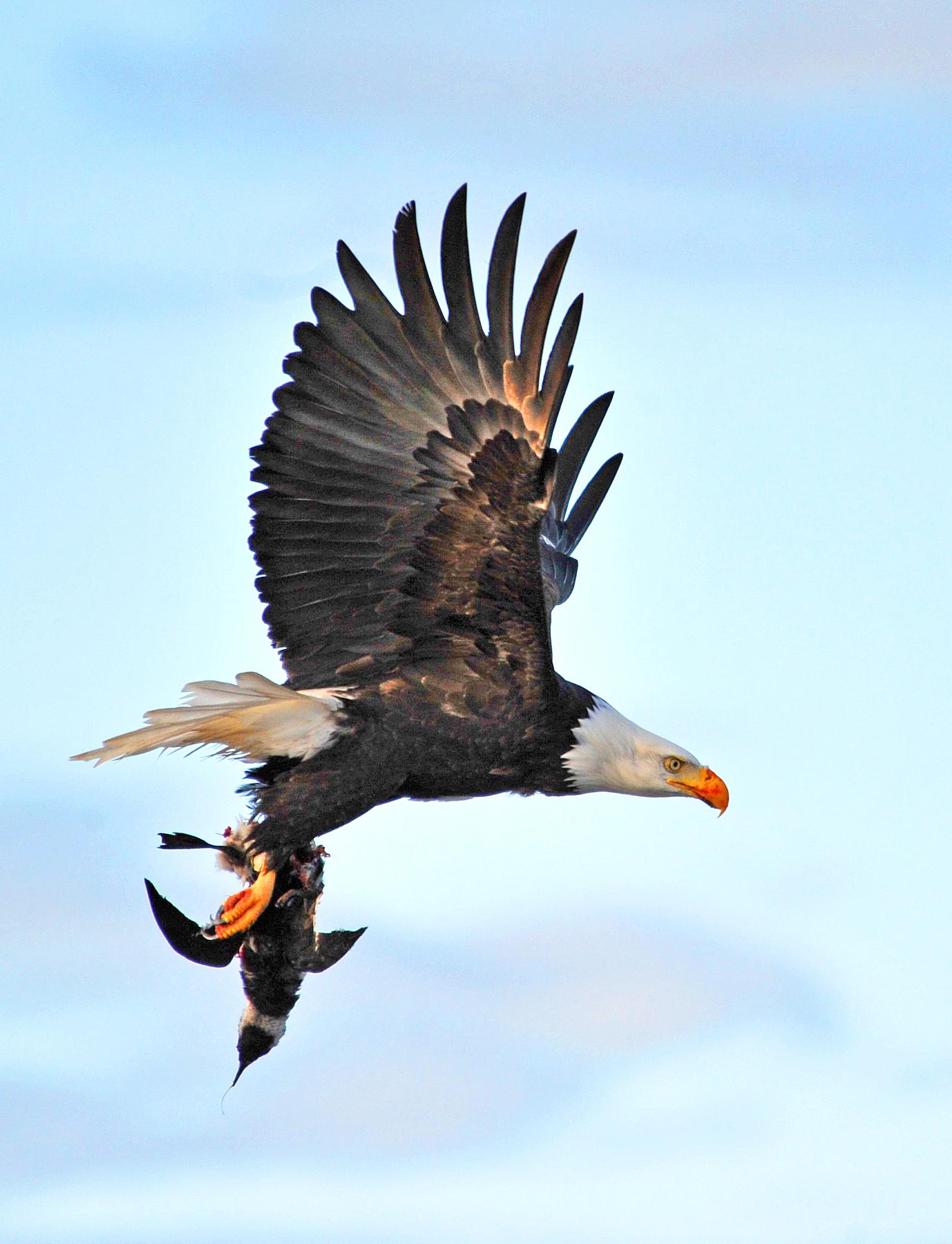 bald-eagle-w-comu-2-vert-bf-edit.jpg